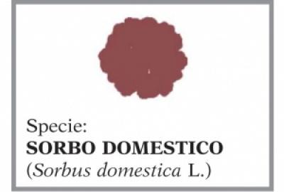 Sorbo domestico