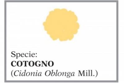 Cotogno