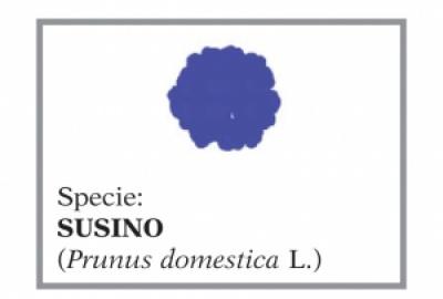 Susino